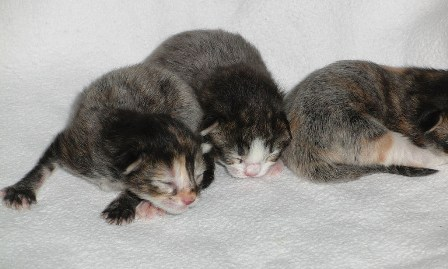 fevercaot kittens web